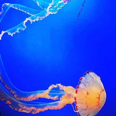 Monterey Bay Aquarium, Jellies #montereybayaquarium #montereybay #jellyfish #montereylocals - posted by California Fiats https://www.instagram.com/fiatofcalifornia - See more of Monterey Bay at http://montereylocals.com