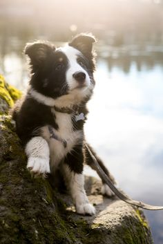 Border Collie pup dogs and puppies Border Collie Welpen, Perros Border Collie, Border Collie Puppies, Collie Dog, Border Collies, Cute Puppies, Cute Dogs, Dogs And Puppies, Doggies