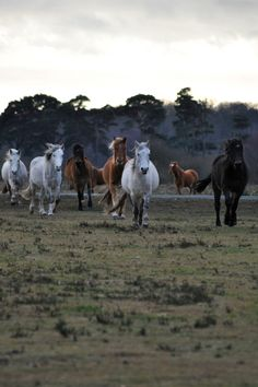 Wild ponies, New Forest, England