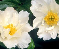"Peony - ""Krinkled White""   One of the few peonies that can tolerate the south"