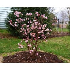 """in full bloom in December thru February!! it smells deliciously """"pink"""" & fills the air with it's fragrance! Viburnum Bodnantense Dawn"""