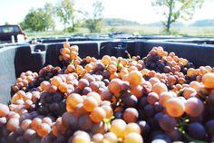 Pinot Gris harvest