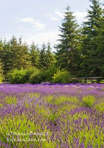 Photographs of Beautiful Lavender Farms, + Pretty Lavender Cookies -
