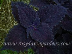 upright ) Stunning plant of deepest purple has a unique waffle-like texture. Combines well with all coleus colors. Sturdy and substantial - highly recommended. Weird Plants, Cool Plants, Garden Plants, Indoor Plants, Plant Catalogs, Black Garden, Foliage Plants, Black Flowers, Potting Soil