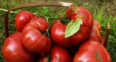 Growing Tomatoes Indoors, Tips For Growing Tomatoes, Growing Tomato Plants, Growing Tomatoes In Containers, Grow Tomatoes, Fruit Rose, Pink Fruit, Heirloom Tomato Seeds, Heirloom Tomatoes