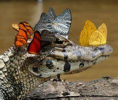 une splendide image dun caiman avec des papillons  2Tout2Rien