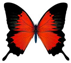 Black and Red Butterfly Butterfly Drawing, Butterfly Pictures, Red Butterfly, Butterfly Painting, Butterfly Watercolor, Butterfly Wallpaper, Art Papillon, Merian, Bird Wings
