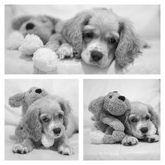 Pekas :: Cocker Spaniel Puppy