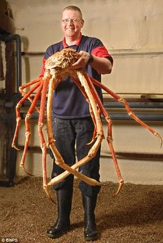 Amazing Sea Creature: Japanese Giant Spider Crab