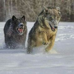 Two Wolves Running Through the Snow.
