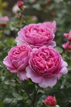 'Princess Alexandra of Kent' - a very photogenic rose with large deeply cupped flowers