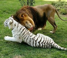 #love ❤This appears to be a picture of the lion Cameron and the white tiger Zabu at Big Cat Rescue in Tampa, FL.