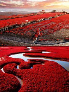Red seabeach,Dawa County , Panjin  Liaoning, China: #China