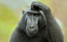 Immagini, La foto, animali, scimmia wallpapers, sfondi, immagini, foto, sfondi del desktop