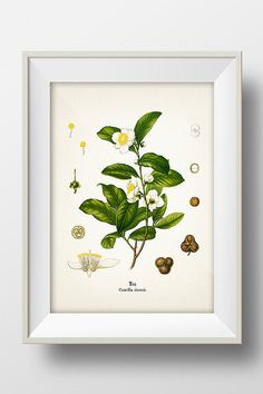 Vintage Tea Print - KO-23 - Fine art print of a vintage natural history antique illustration