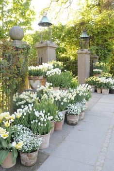 Beautiful french cottage garden design ideas 45 white bulbs mass planted in aged terracotta pots beautiful garden design Inspriation French Cottage Garden, Cottage Garden Design, Garden Pests, Plantation, Front Yard Landscaping, Landscaping Ideas, Spring Garden, Dream Garden, Garden Inspiration