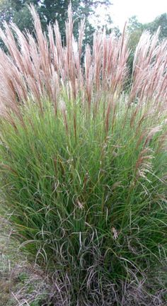Miscanthus sinensis Gracillimus only produces plumes every 3 or 5 years. The height of its foliage reache Miscanthus sinensis Gracillimus only produces plumes every 3 or 5 years. The height of its foliage reaches 80 inches and,when in bloom, the .