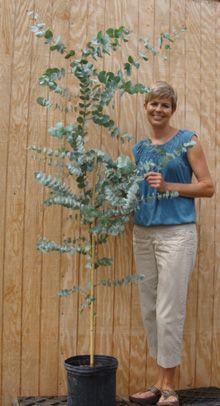 Great Eucalyptus Tree