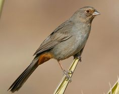 California Towhee (first seen in Point Reyes, CA in May 2013)