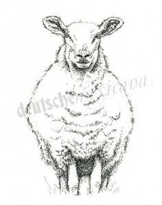sheep pen and ink drawing