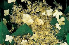 Top 10 Backyard Vines With Fall Flair: Climbing hydrangea