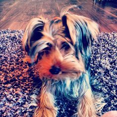 Love the colours of my yorkie at 7 months