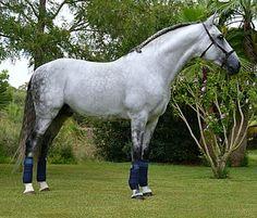 Pura Raza Española stallion, Vino Tinto.