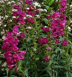 Penstemon 'Enor': 3'x3', dark stems and foliage