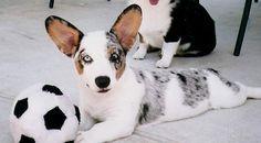 blue merle cardigan welsh corgi -- i want one! Cardigan Welsh Corgi Puppies, Corgi Mix, Pembroke Welsh Corgi, I Love Dogs, Puppy Love, Cute Dogs, Blue Merle Corgi, The Cardigans, Fur Babies