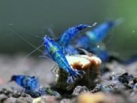 Neocaridina blue rili