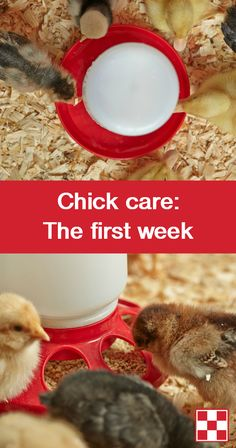 The first week: Keeping chicks comfortable from the start requires three essentials – warmth, water and feed. Once chicks arrive, introduce them to the brooding area. Provide room temperature water and a complete starter-grower feed that includes Purina® Chick Strong™ System. The brooder temperature should be set at 95 degrees Fahrenheit for the first week. Comfortable chicks will be evenly spaced throughout the brooder.