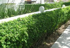 A robust hedge defined by a colonial post and rail fence.