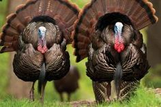 May 2013 - Volume 74, Issue 5: Mounting Your Own Turkey Tail, Beard, and Spurs   Missouri Department of Conservation