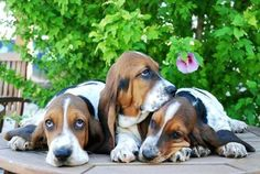 Basset hound puppies - I just want to squeeze them!