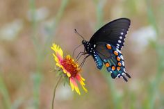 Pipevine Swallowtail | Tumblr