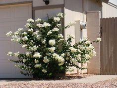 white+bougainvillea | Foliage/texture: Alternate, entire, ovate to orbicularleaves to 2 1/2 ...