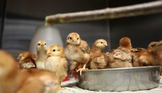 More than 100 chicks rescued after mail order snafu in 2013. Farm Sanctuary is committed to ending cruelty to farm animals and promoting compassionate vegan living through rescue, education, and advocacy efforts. Please join us. A compassionate world begins with you! http://www.farmsanctuary.org