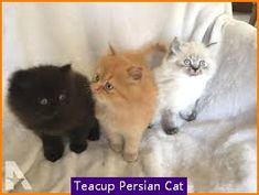 Recognized for its pleasant wimp face as well as lengthy thick layer of hair the Persian pet cat specifically Teacup Persian Cat is just one of one of the most preferred type of pet cats around. Teacup Persian Kittens, Persian Kittens For Sale, Teacup Kittens For Sale, Pet Cats, Pets, Tea Cups, Type, Hair, Animals