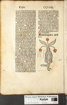 Mandragora, 1496-1497, Johann von Cube, Gart der Gesundheit, Herzog August Bibliothek Wolfenbüttel, [Mandragora alru frawe], P.256