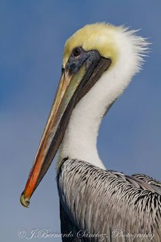 Brown pelicans live on both the Pacific and Atlantic coastlines of North adn South America. (J.Bernardo Sánchez)