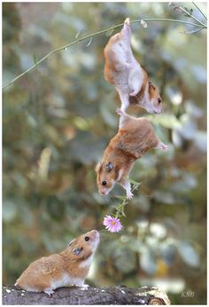 Hamster Brother, I'll help you give her a flower. Just hold on. Hamster Brother I can't reach! Stretch your t-rex arms! Hamster Brother, I did it! Girl Hamster: What are you doing? Super Cute Animals, Cute Baby Animals, Animals And Pets, Funny Animals, Cutest Animals, Animal Memes, Wild Animals, Nature Animals, Small Animals