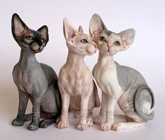 I don't know why people think these magnificent animals are ugly. The Sphynx cat is absolutely beautiful and the most intelligent!