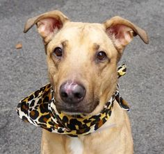 "A0849364201  Starr ...A volunteer writes: Her former owner words…..""Starr is a very loving dog and deserves a very loving home.""  After spending some time with Starr, I can not agree more… She truly is a star and a wonderful dog, so classy, so elegant, sociable and friendly and so very playful. I am not surprised that she shined in her behavioral evaluation"