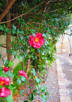 Winter camellias beside Dr. Daisetsu Suzuki Museum, Kanazawa, Japan