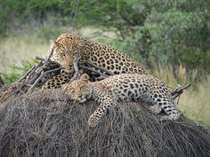 Leoparden, Safari, Naminia, Ausruhen, Wildkatze