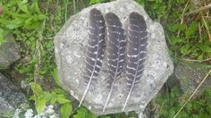 """3 large Bronze turkey feathers, ethically collected from our own free range birds.  Each feather measures approximately 12"""" (30cm) long and would be perfect for making smudging fans, real ink quills or head dresses but to equally be used to represent the element of Air in your rituals.  More are available if required. Please just drop us a Conversation to discuss your needs.  www.thewitchchandlery.com"""