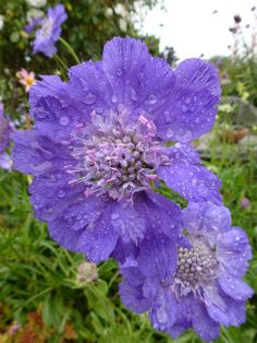 Scabiosa caucasica 'Fama Blue' | Flickr – Compartilhamento de fotos!