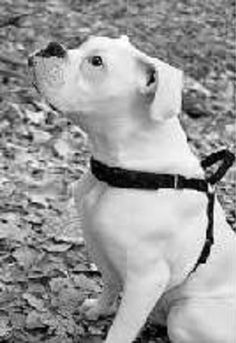"""Ghost of Billy: Help with Pet Grief – """"All Outta Sugar"""" White Boxer Puppies, White Boxers, Rainbow Bridge Quotes, Pet Grief, Emergency Vet, Grief Loss, Humane Society, Pitbulls, Pets"""