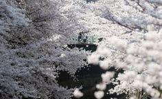 Sakura floración cerezos Japón