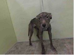 SUPER SUPER URGENT 5/8/14 Manhattan Center  JAZMINE - A0999154  I am an unaltered female, brown brindle Pit Bull Terrier mix.  The shelter staff think I am about 10 years old.  I weigh 20 pounds.  I was found in NY 10452.  I have been at the shelter since May 08, 2014.  https://www.facebook.com/photo.php?fbid=800334296646118&set=a.617942388218644.1073741870.152876678058553&type=3&theater